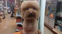 Tosar cachorro em formato de cubo agora é moda no Japão; Veja fotos